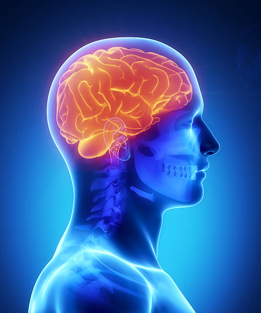 Human brain with visible skull lateral view Male anatomy of human organs in x-ray view janulla stock pictures, royalty-free photos & images