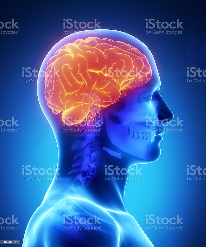 Human brain with visible skull lateral view stock photo
