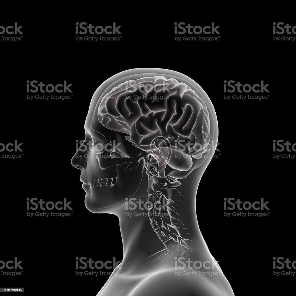 Human Brain Xray, Head Anatomy stock photo