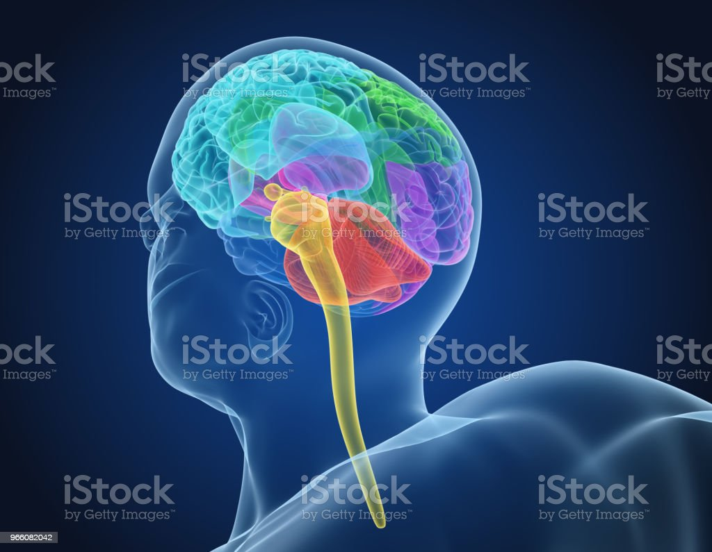 Human brain X-ray scan , Medically accurate 3D illustration - Royalty-free Anatomy Stock Photo