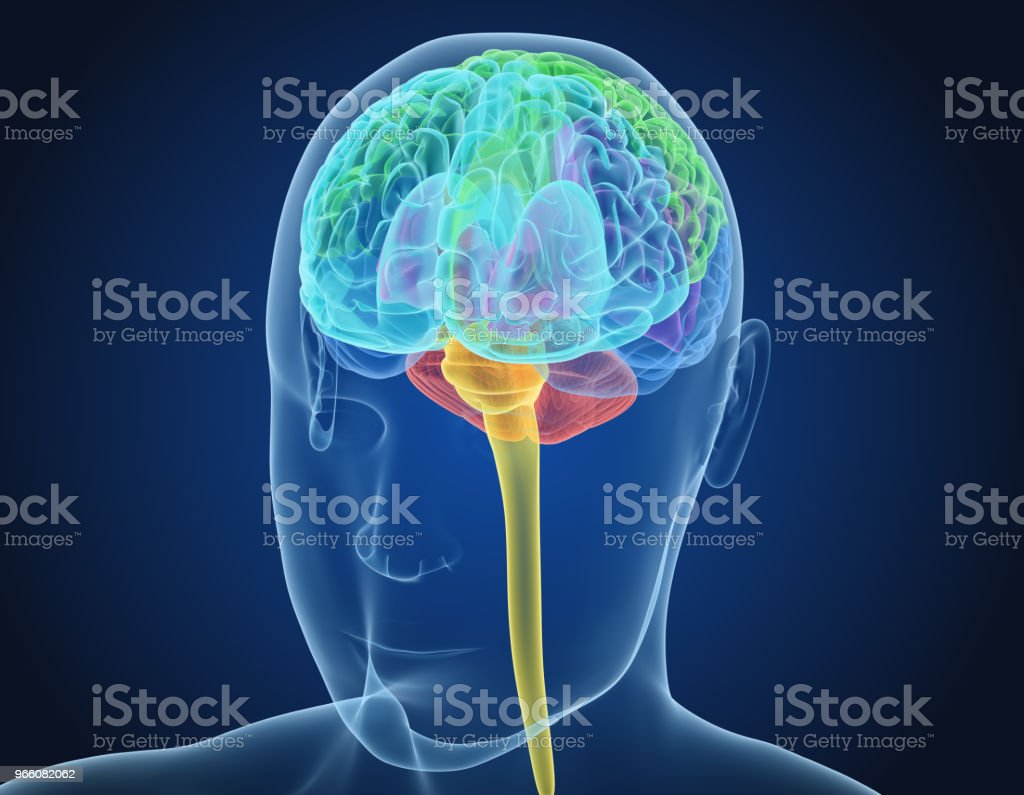 Human brain X-ray scan , Medically accurate 3D illustration - Royalty-free Anatomia Foto de stock