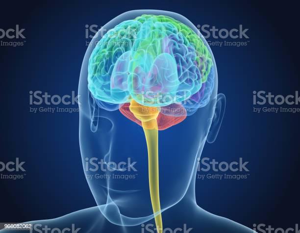Mänskliga Hjärnan Röntgen Scan Medicinskt Korrekt 3d Illustration-foton och fler bilder på Anatomi