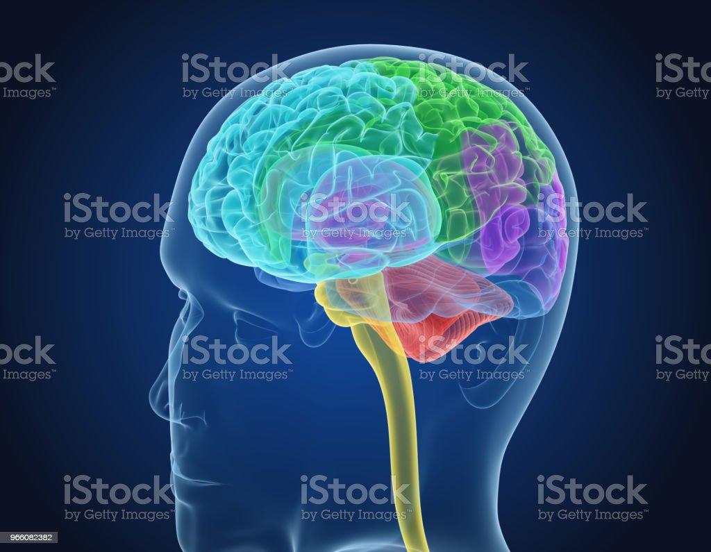 Menselijk brein X-ray scan, medisch nauwkeurige 3D illustratie - Royalty-free Anatomie Stockfoto