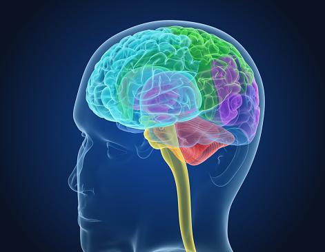 Menselijk Brein Xray Scan Medisch Nauwkeurige 3d Illustratie Stockfoto en meer beelden van Anatomie