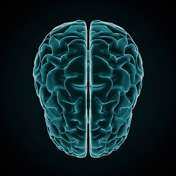 "Human Brain X-ray style ""Full CG images made by my self, showing a human brain with a Xray look on dark background."" auditory cortex stock pictures, royalty-free photos & images"