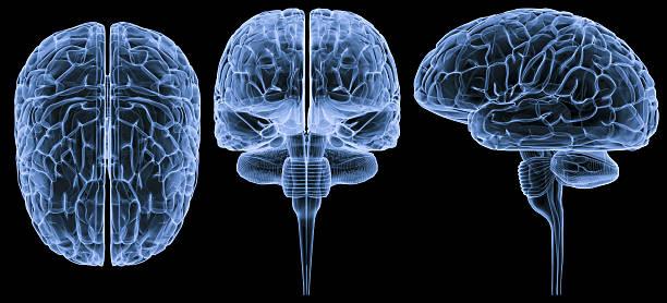 Human brain-3 views XXXL stock photo