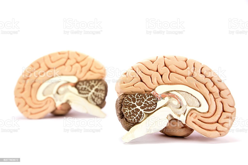 Human brains model isolated on white background stock photo