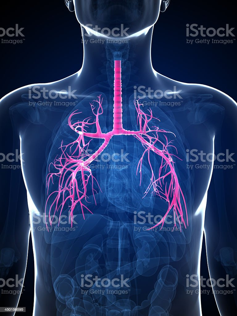 human bronchi royalty-free stock photo