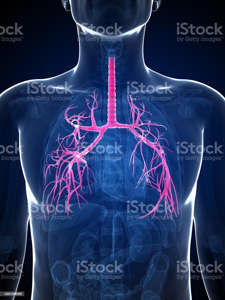 human bronchi stock photo