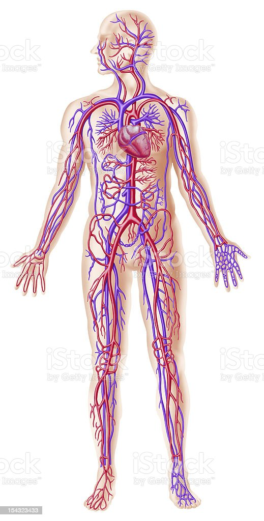 Human circolatory system cross section stock photo