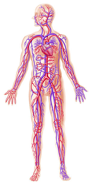 human circolatory system cross section - cardiovascular system stock photos and pictures