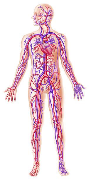 human circolatory system - cardiovascular system stock photos and pictures