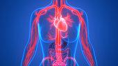 istock Human Circulatory System Anatomy 1028277666
