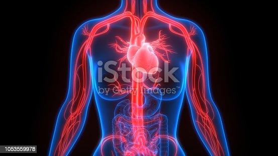 istock Human Circulatory System Anatomy 1053559978