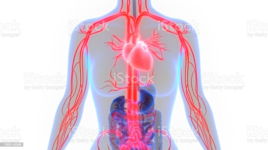 Human Circulatory System Anatomy Stock Photo More Pictures Of