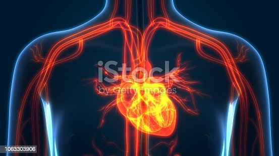 istock Human Circulatory System Anatomy 1063303906
