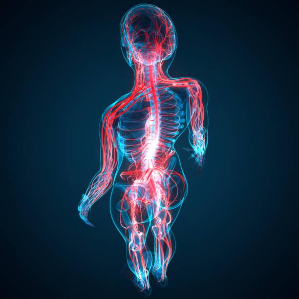 anatomie des menschlichen kreislaufsystems - herz lungen training stock-fotos und bilder