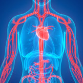 istock Human Circulatory System Anatomy 957849954