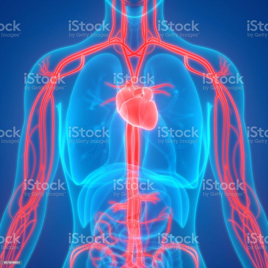 Human Circulatory System Anatomy stock photo