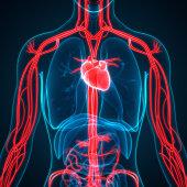 istock Human Circulatory System Anatomy 970416598