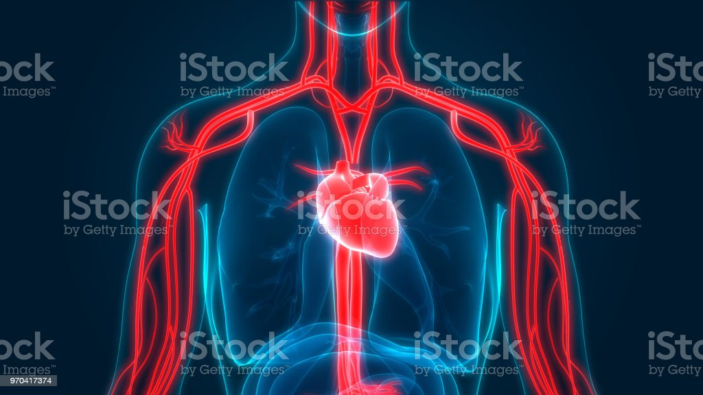 Human Circulatory System Anatomy stock photo