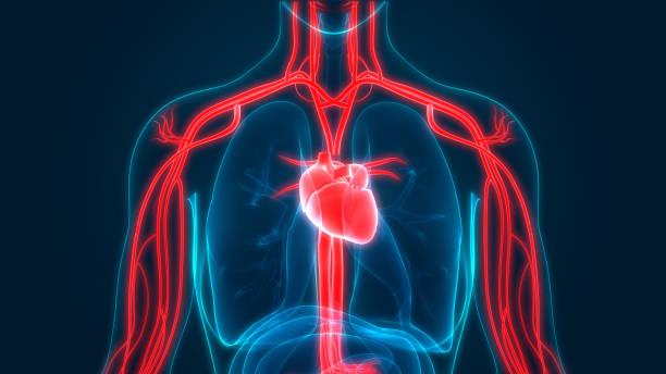 anatomie des menschlichen herz-kreislauf-system - herz lungen training stock-fotos und bilder