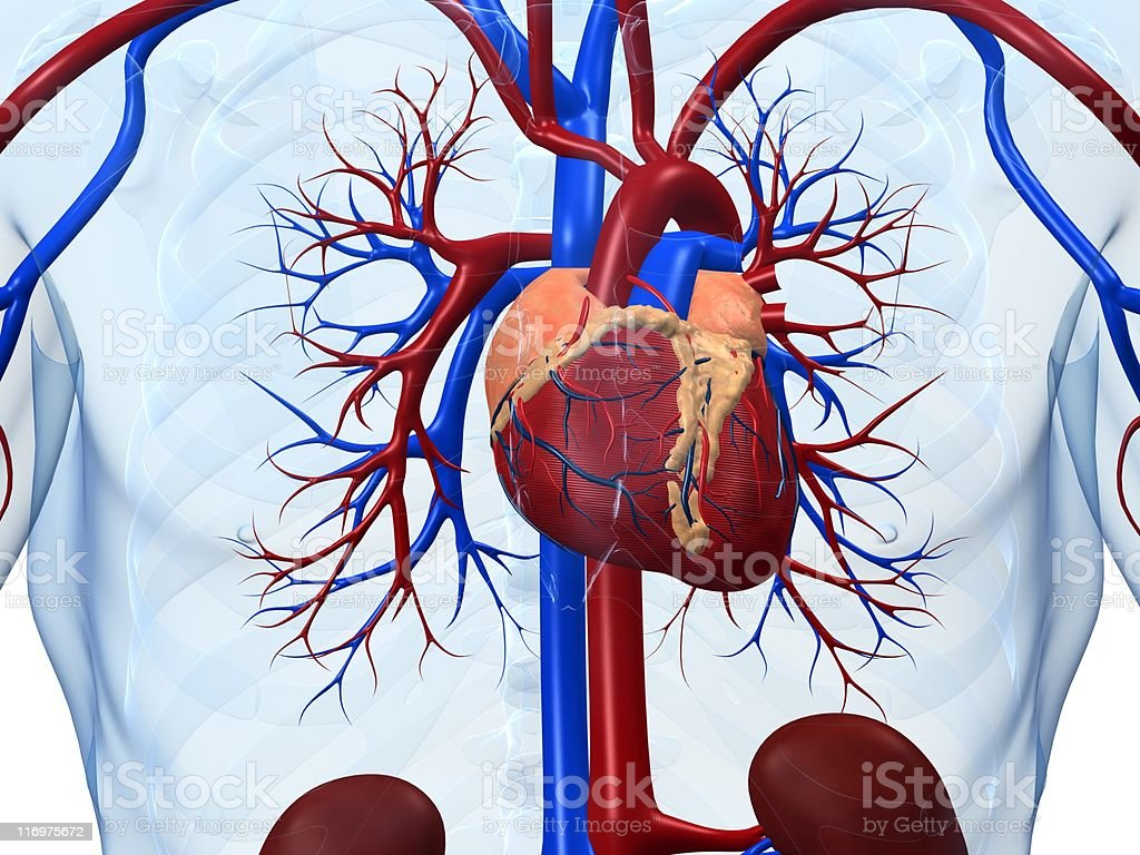 Human circulatory system focusing on the heart royalty-free stock photo