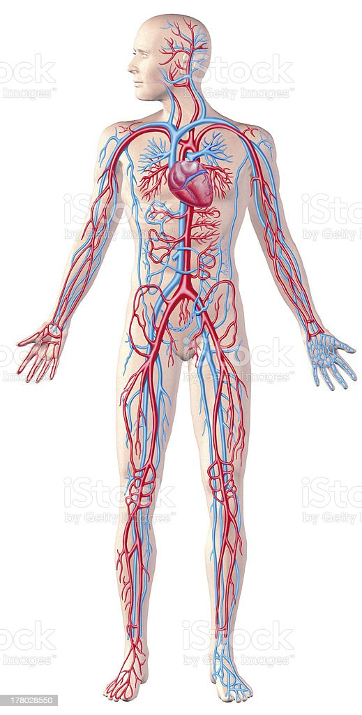Human circulatory system, full figure, cutaway anatomy illustration. stock photo