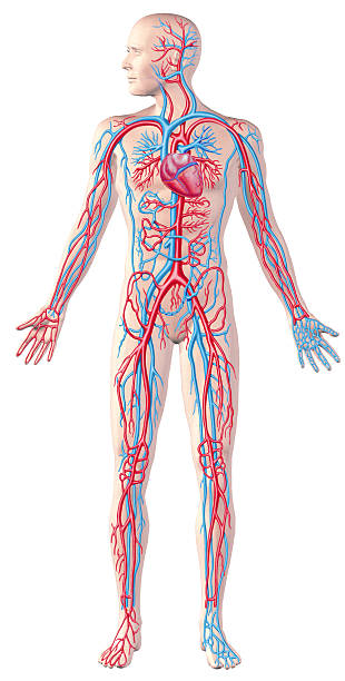 human circulatory system, full figure, cutaway anatomy illustration. - diagram stock pictures, royalty-free photos & images
