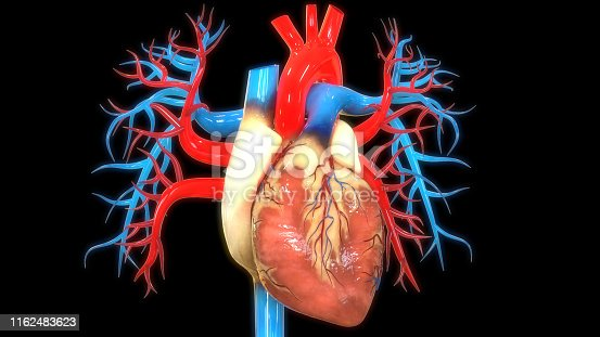 istock Human Circulatory System Heart Anatomy 1162483623