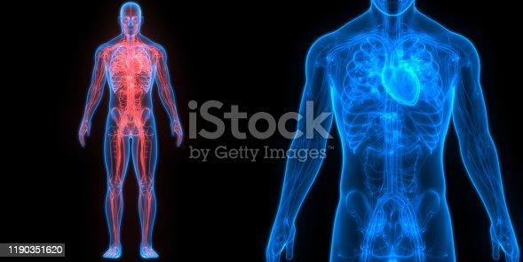 istock Human Circulatory System Heart Anatomy 1190351620