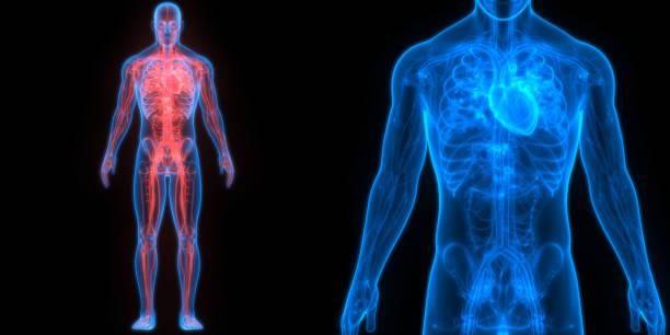 anatomía del corazón del sistema circulatorio humano - cuerpo humano fotografías e imágenes de stock