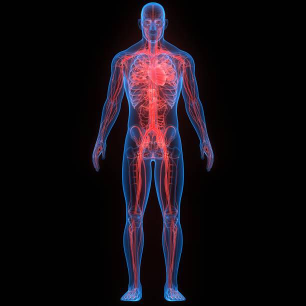 Human Circulatory System Heart Anatomy stock photo