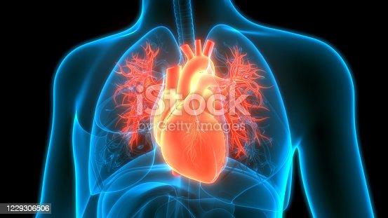 3D Illustration Concept of Human Circulatory System Heart Anatomy