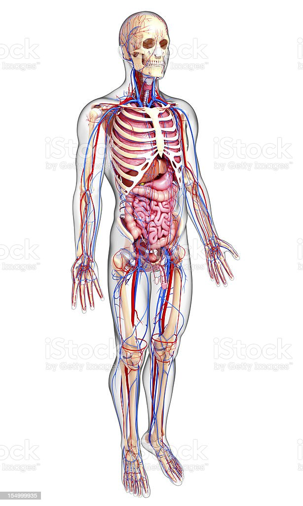 Human Circulatory System Stock Photo More Pictures Of Abdomen Istock