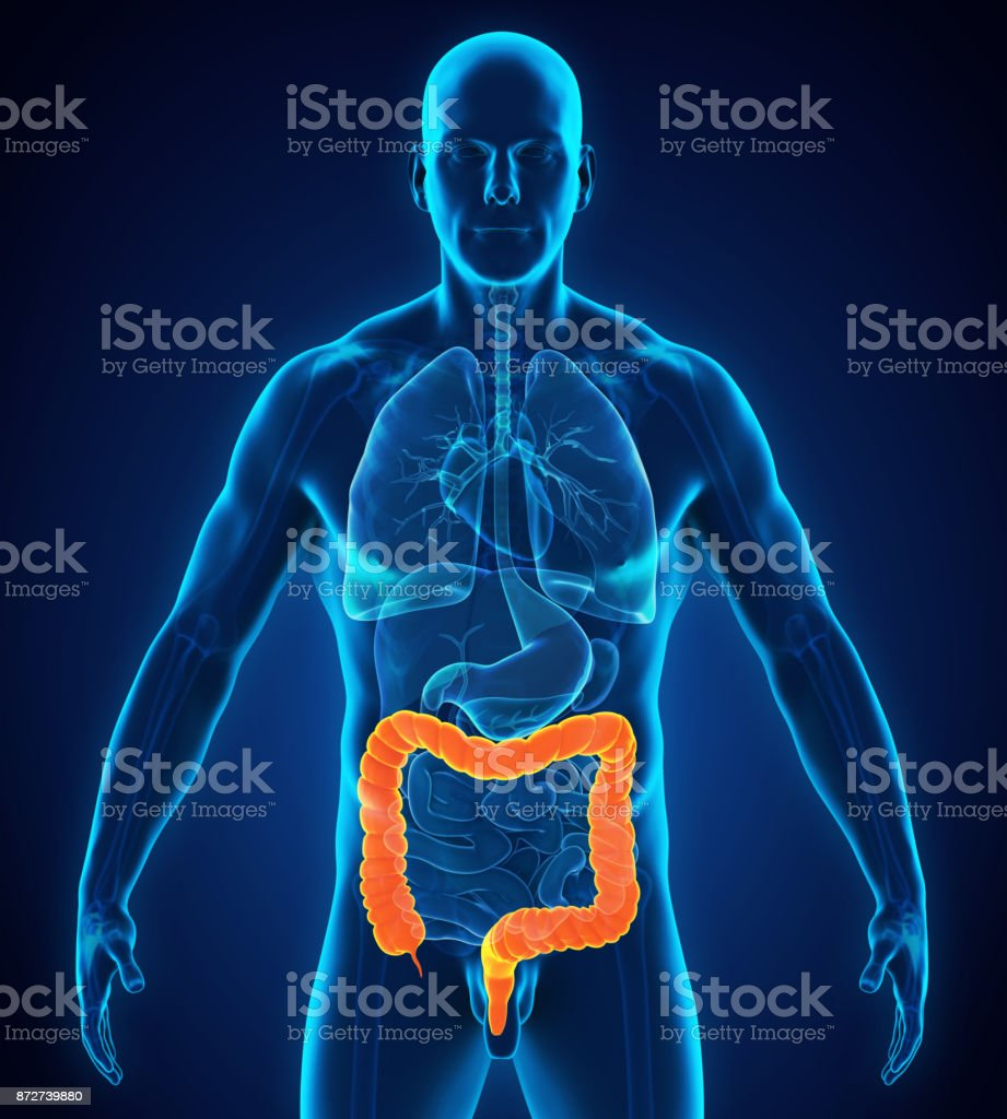 Human Colon Anatomy Stock Photo Istock