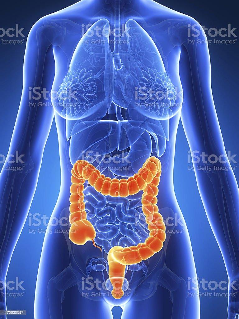 human colon stock photo