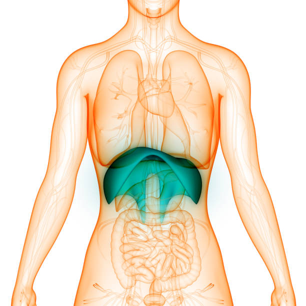Royalty Free Human Anatomy Scientific Illustrations Thoracic