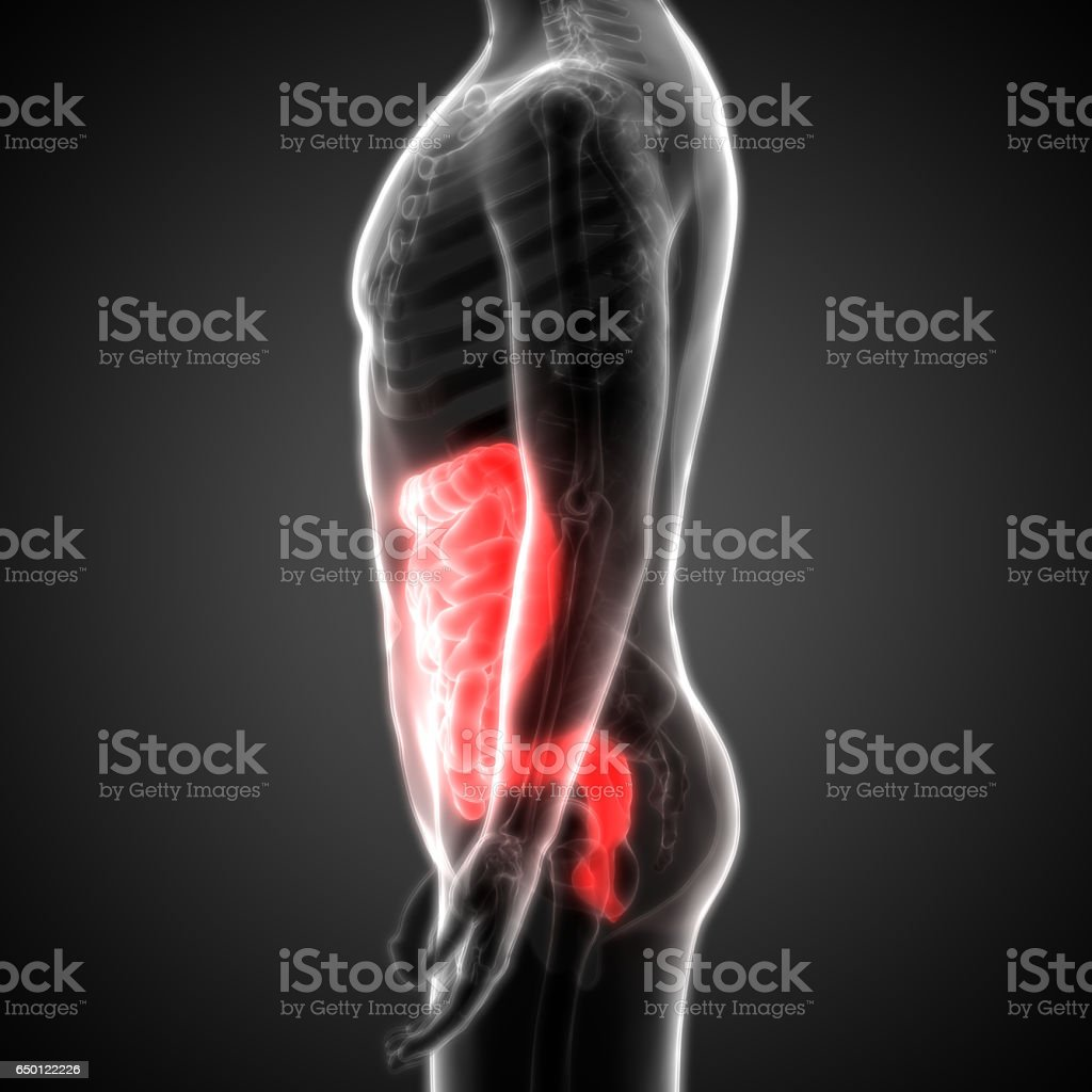 Human Digestive System Anatomy Lateral View Stock Photo More