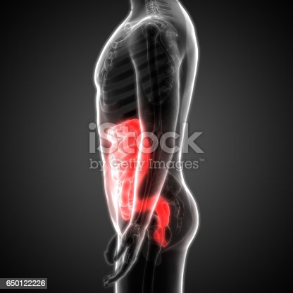 Human Digestive System Anatomy Lateral View Stock Photo ...