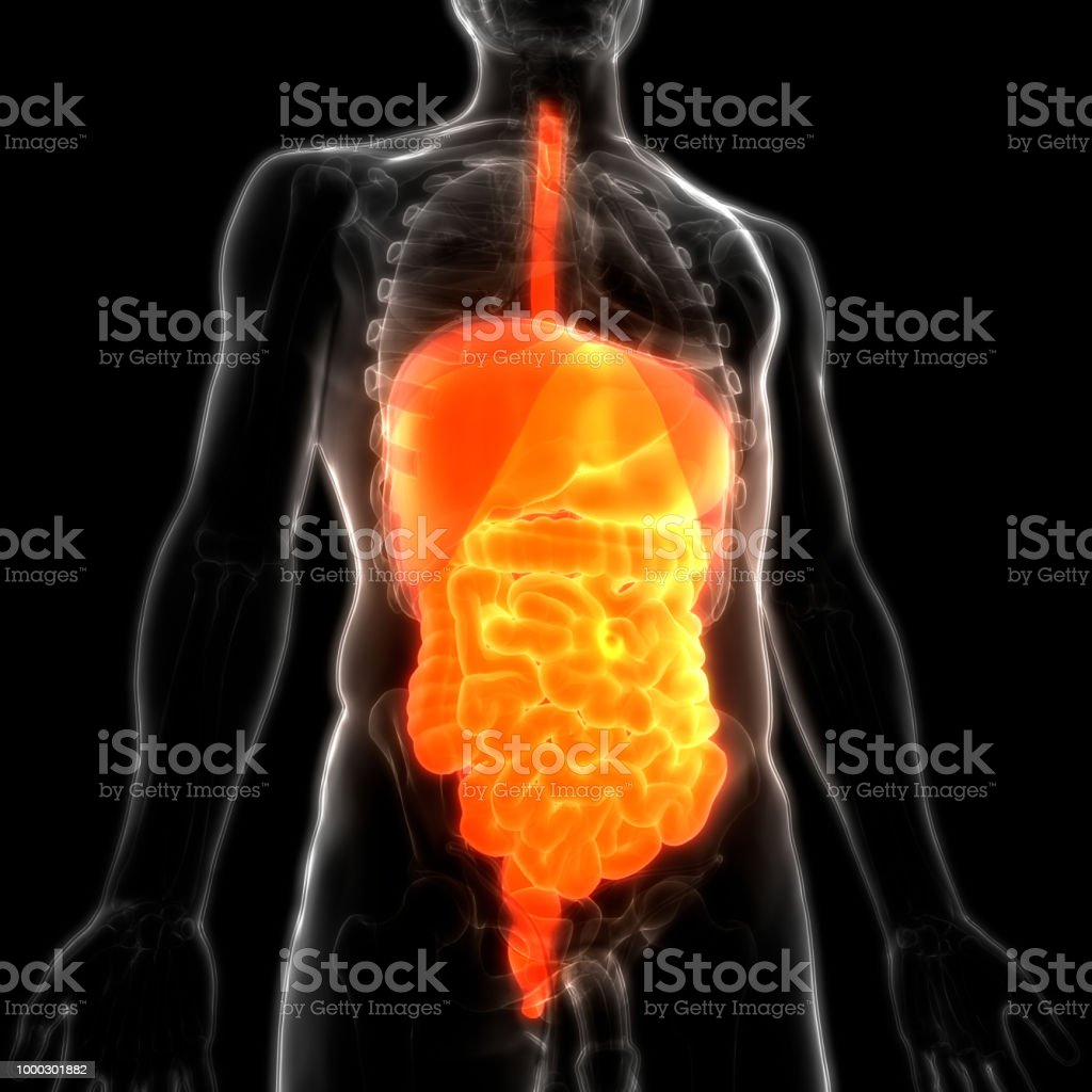 Human Digestive System Anatomy Stock Photo More Pictures Of