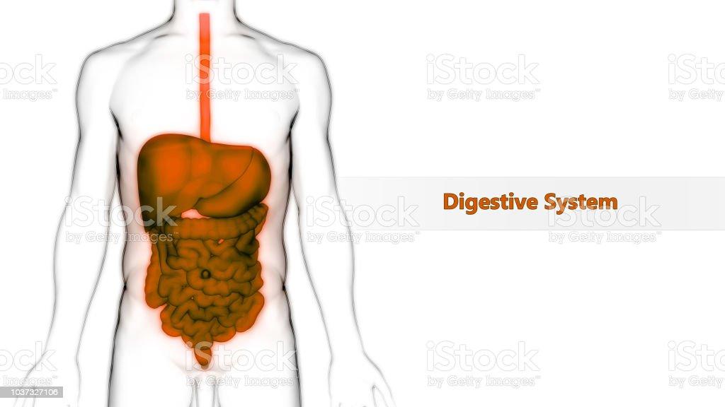 Human Digestive System Anatomy stock photo