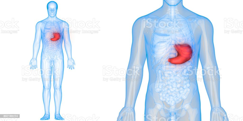 Human Digestive System Anatomy Stock Photo & More Pictures of ...