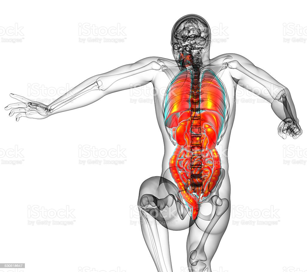 Human Digestive System And Respiratory System Stock Photo More