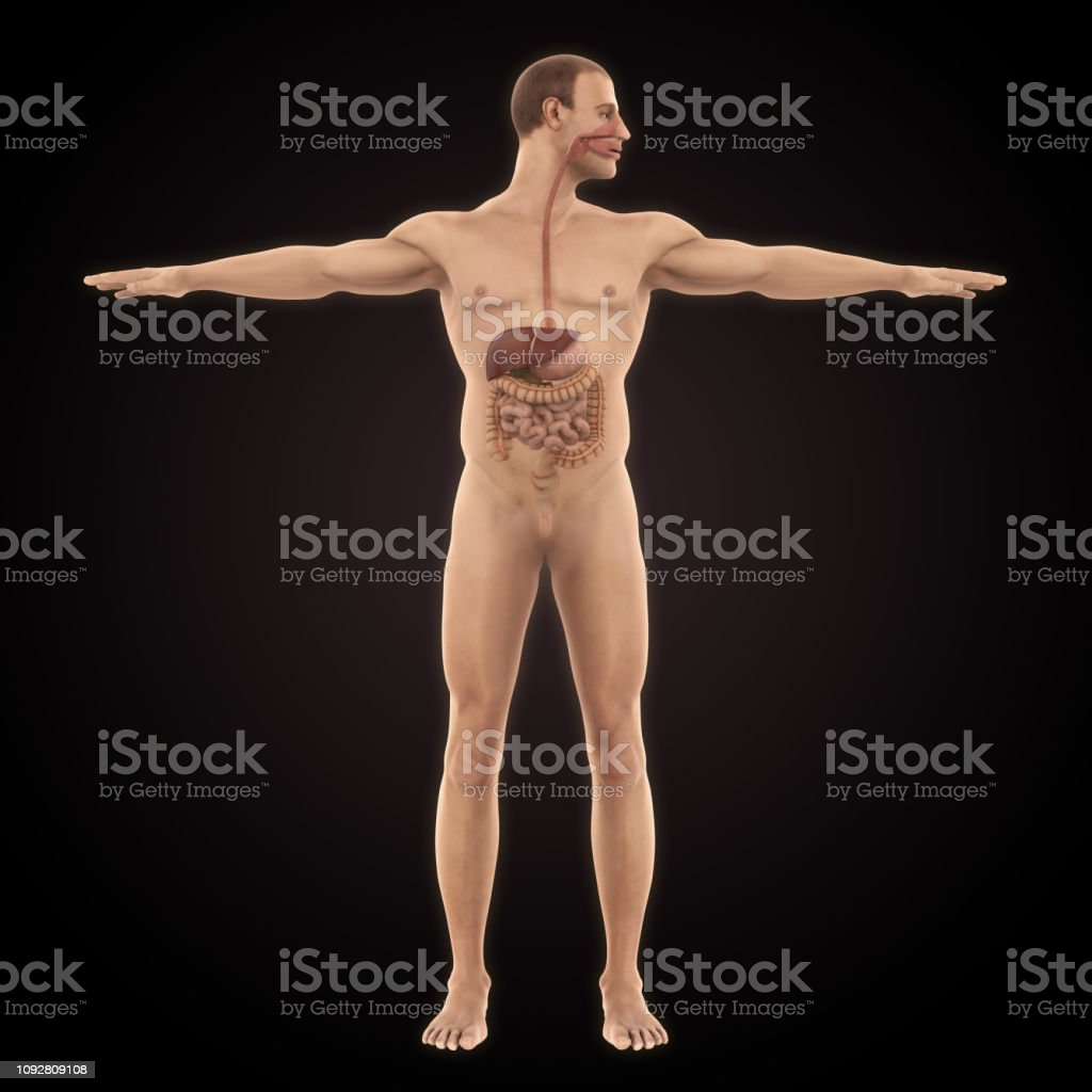 Human Digestive System Illustration stock photo