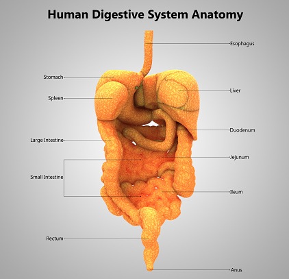 Human Digestive System Label Design Anatomy Stock Photo ...