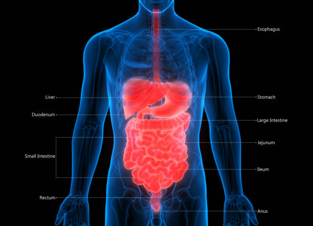 Human Digestive System Label Design Anatomy stock photo