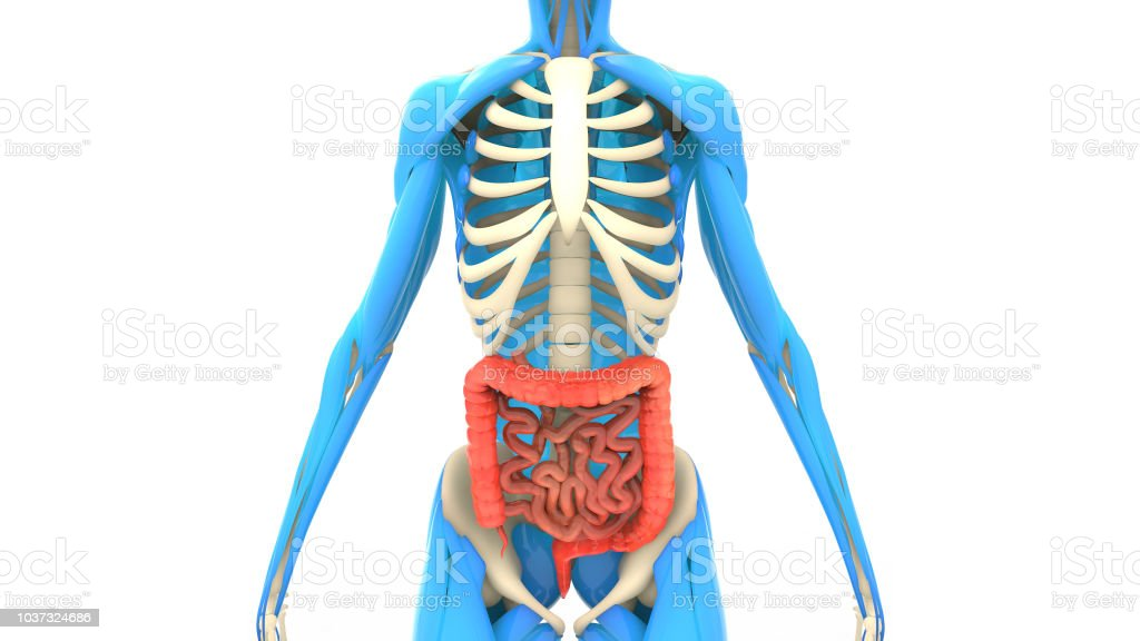 Human Digestive System Large And Small Intestine Anatomy Stock Photo