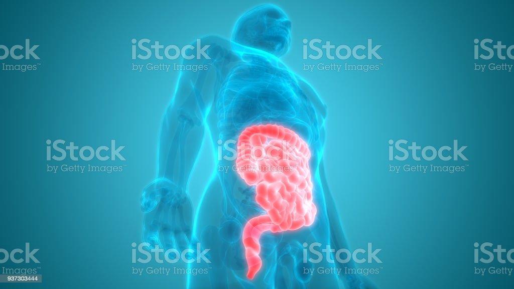 Fotografía de Intestino Delgado Anatomía Y Sistema Digestivo Humano ...