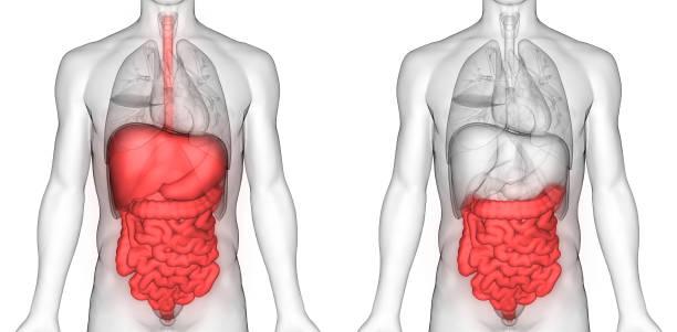 sistema digestivo humano grande e anatomia do intestino delgado - sistema digestivo humano - fotografias e filmes do acervo